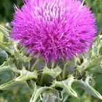 Study: Milk Thistle Can Stop Lung Cancer