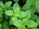 top 10 natural healing solutions using peppermint